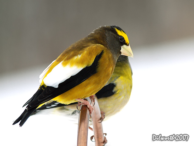 623m1 Evening Grosbeak