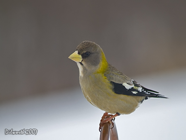 624 Evening Grosbeak