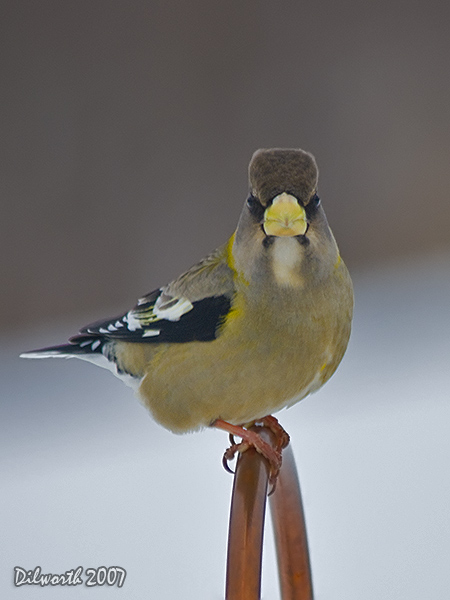 v624m1 Evening Grosbeak
