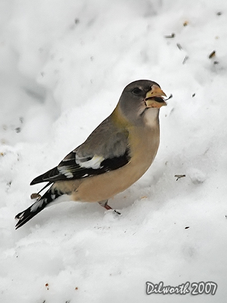 v624m2 Evening Grosbeak