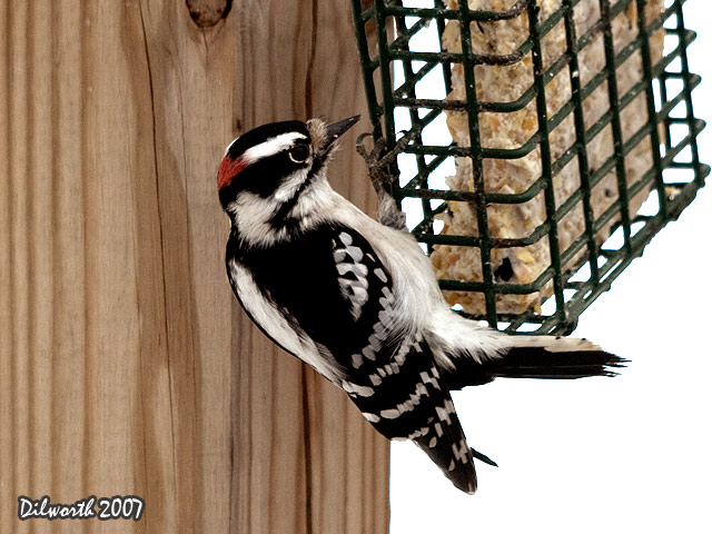 626m Downy Woodpecker