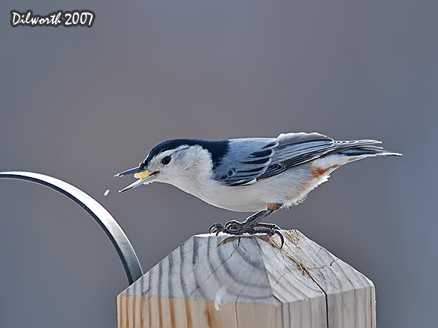 628 White-breasted Nuthatch