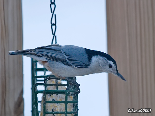 628m White-breasted Nuthatch