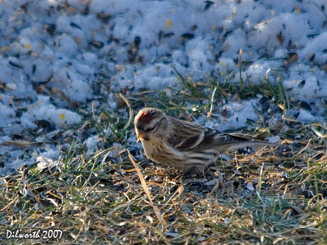 629 Common Redpoll