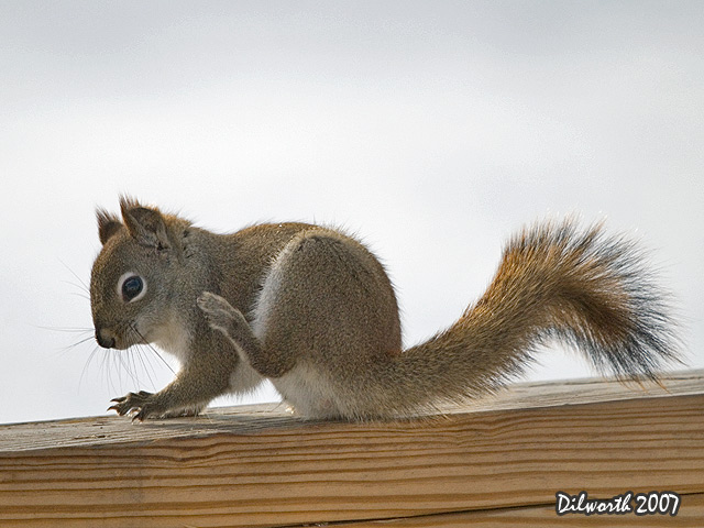 630 Red Squirrel