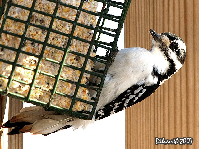631 Hairy Woodpecker
