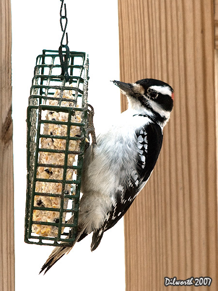 v631m Hairy Woodpecker