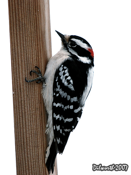 v632 Downy Woodpecker