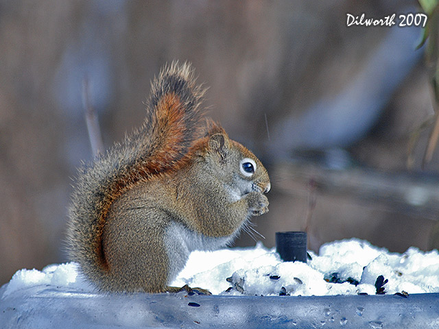 636 Red Squirrel