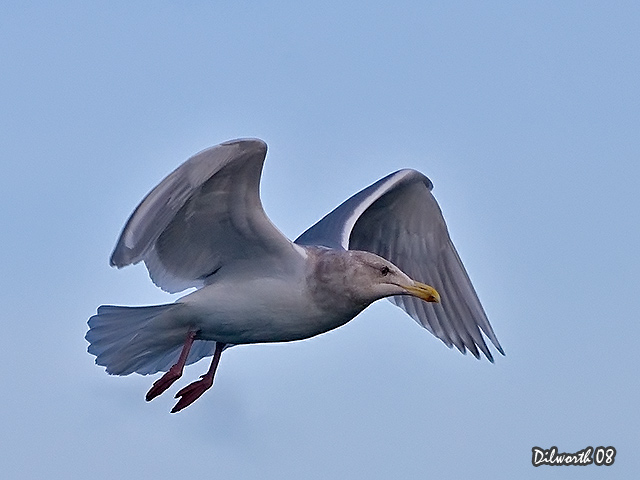 638 Glaucous-winged Gull