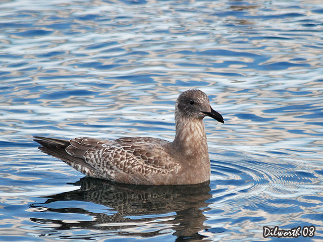 638m Glaucous-winged Gull