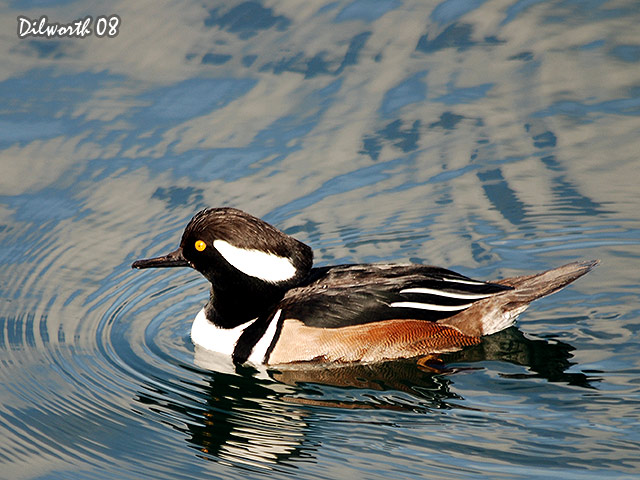 645 Hooded Merganser
