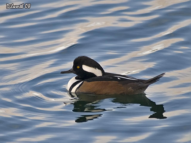 645m1 Hooded Merganser