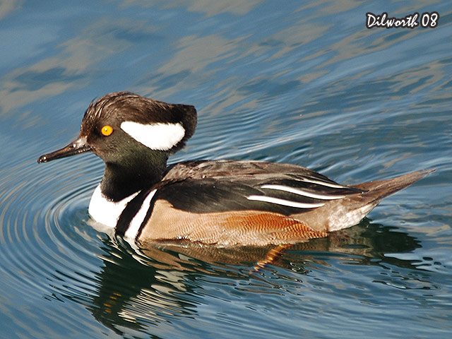 646 Hooded Merganser