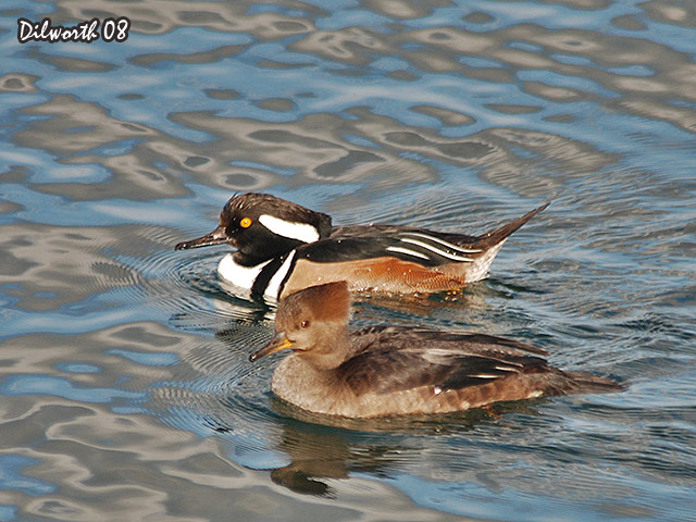 646m1 Hooded Merganser