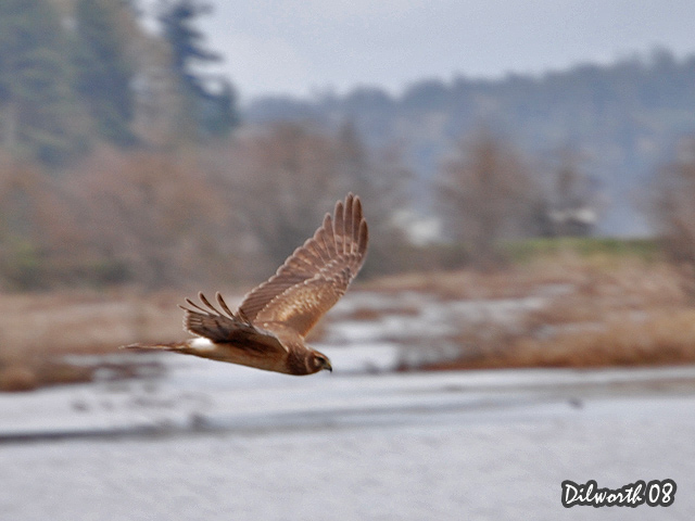 668 Northern Harrier