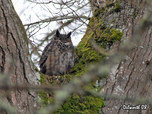 669 Great Horned Owl