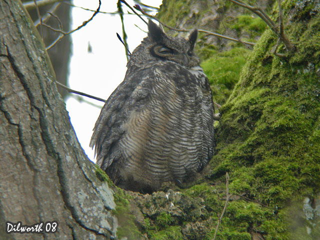 669m1 Great Horned Owl