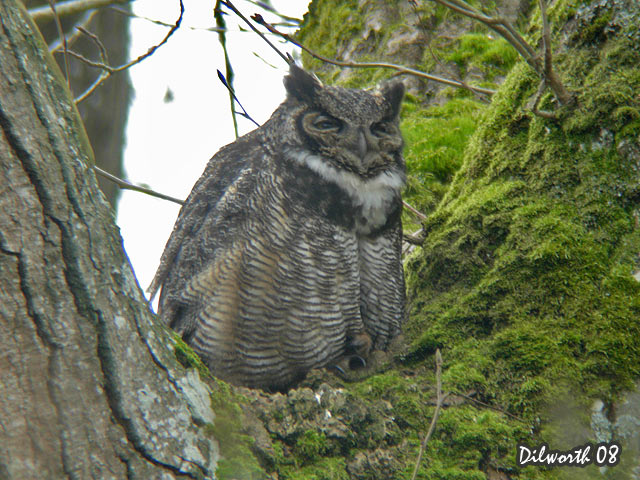 669m3 Great Horned Owl