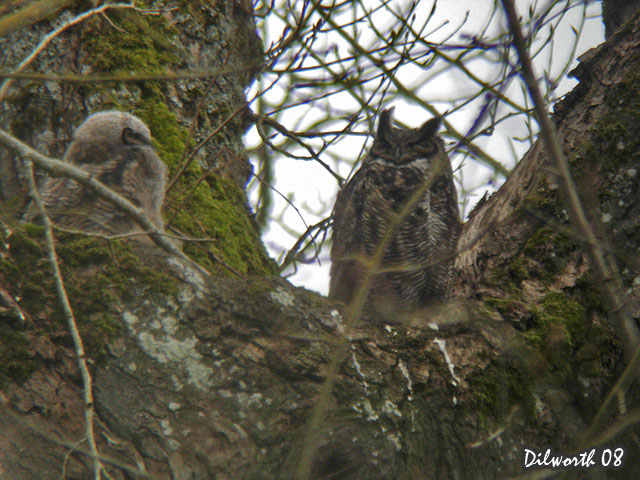 670m1 Great Horned Owl