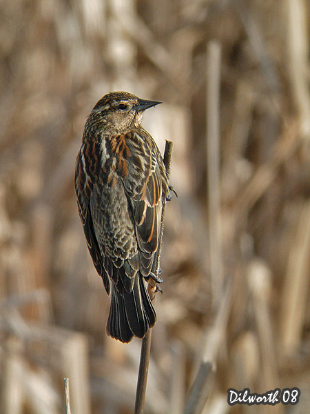 v673m Red-winged Blackbird