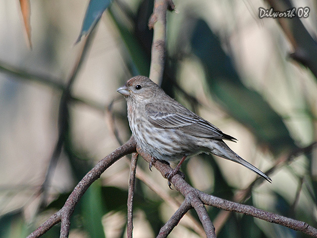 677 House Finch