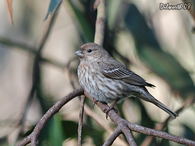 677m House Finch