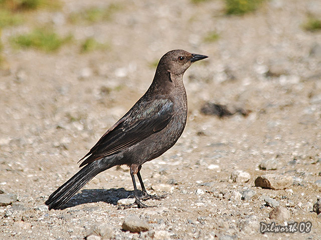 681 Brewer's Blackbird