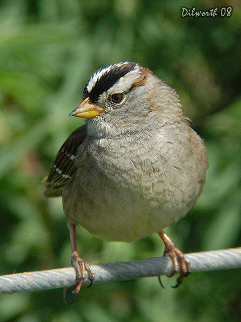 v683 White-crowned Sparrow