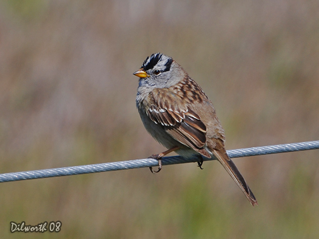 683m1 White-crowned Sparrow