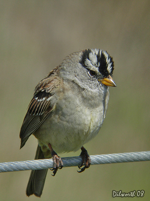 v683m2 White-crowned Sparrow