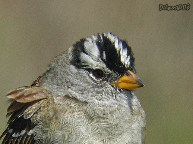 683m3 White-crowned Sparrow