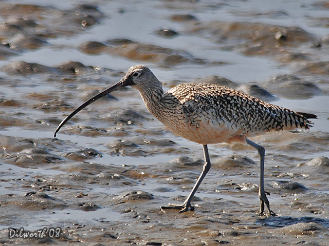 686 Long-billed Curlew