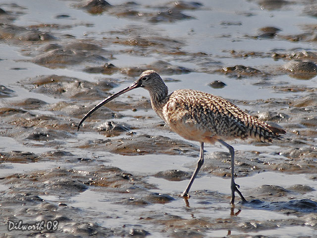 686m1 Long-billed Curlew
