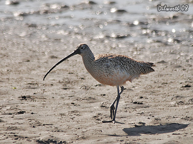686m2 Long-billed Curlew