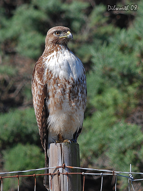 v688 Red-tailed Hawk