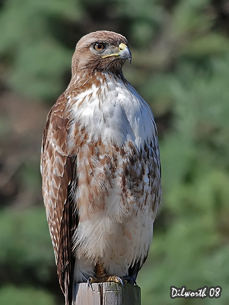 v688m1 Red-tailed Hawk