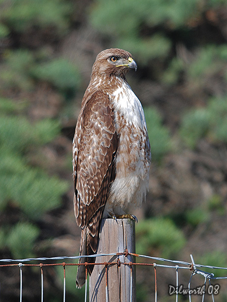 v688m2 Red-tailed Hawk