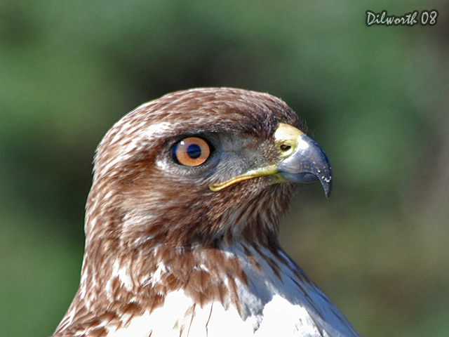 689 Red-tailed Hawk