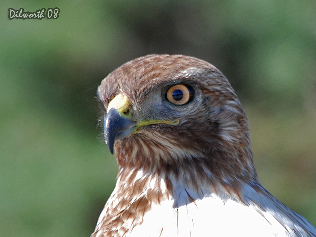 689m1 Red-tailed Hawk