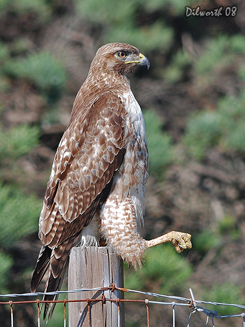 v690 Red-tailed Hawk