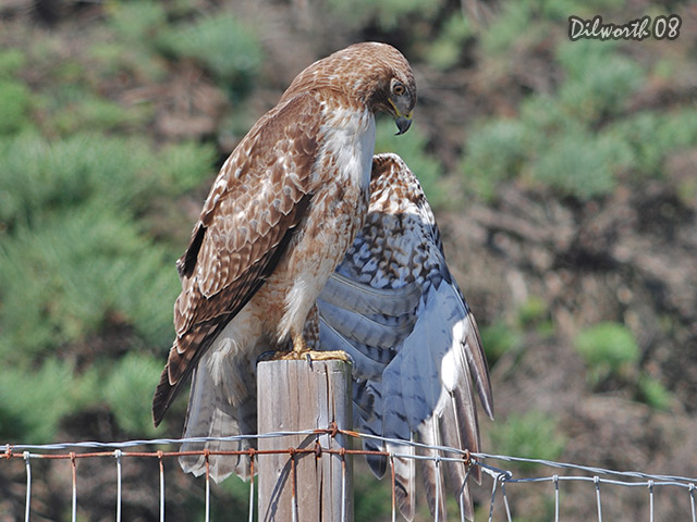690m1 Red-tailed Hawk