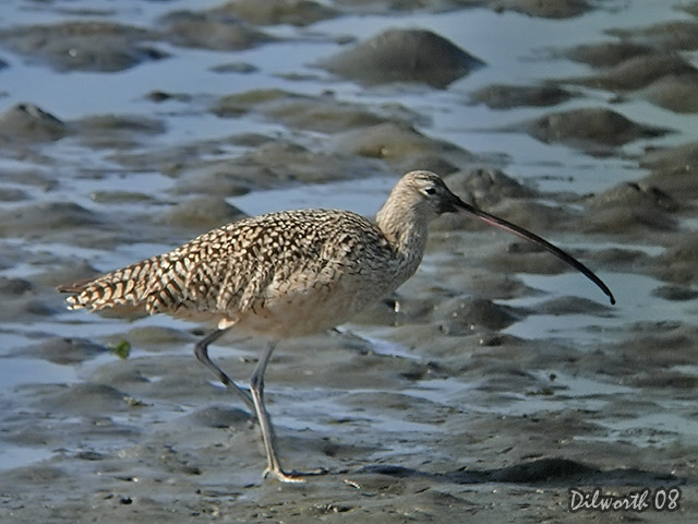 694 Long-billed Curlew