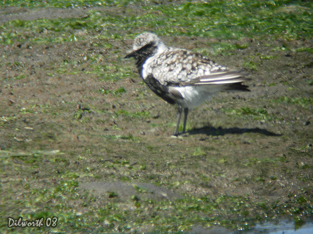 695 Black-bellied Plover