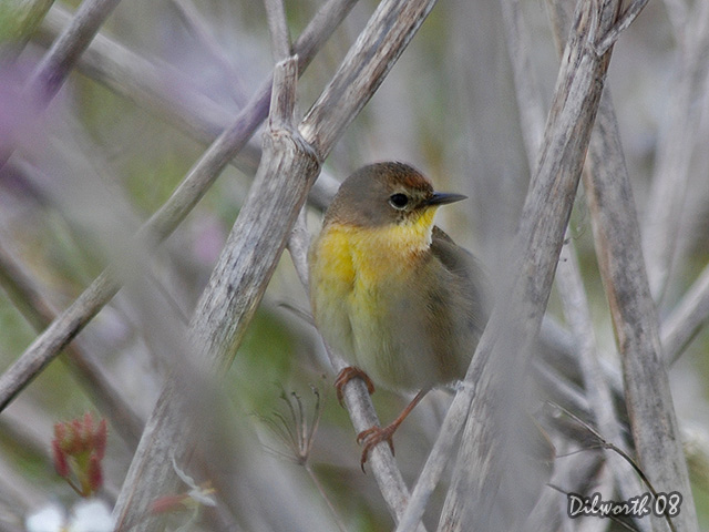 696 Common Yellowthroat