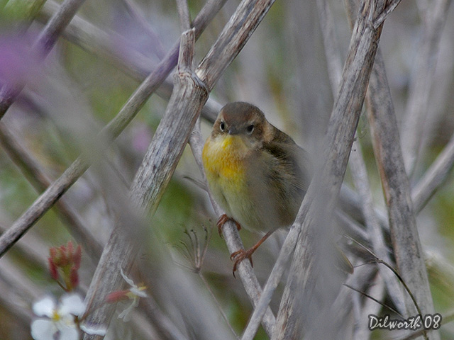 696m Common Yellowthroat