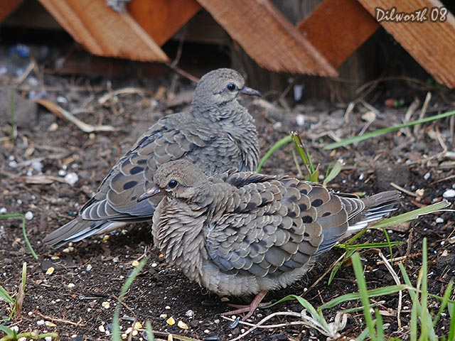 697 Mourning Dove