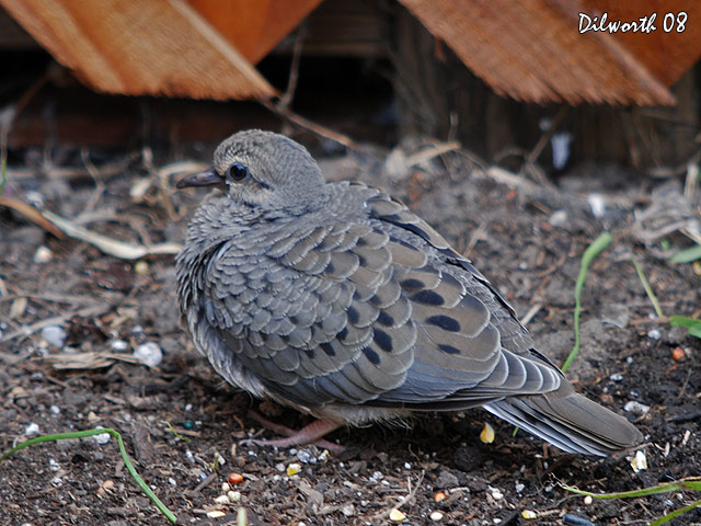 697m1 Mourning Dove