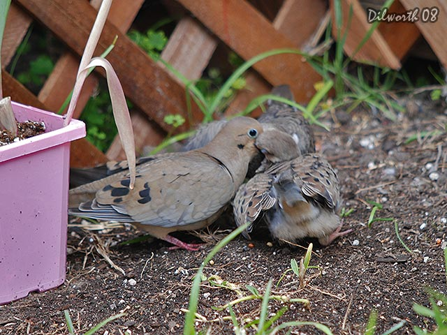 697m2 Mourning Dove