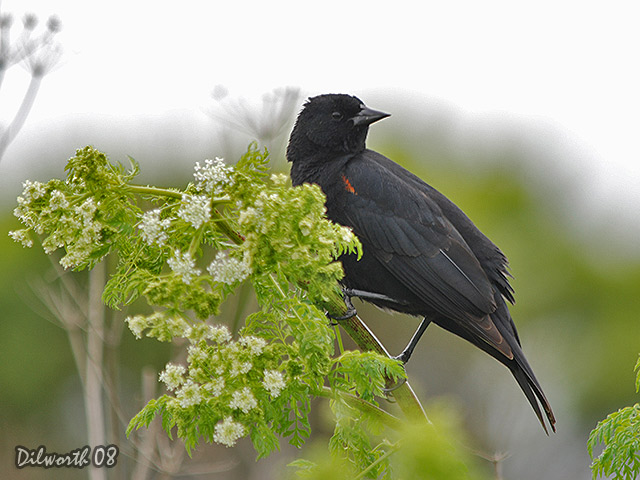698m Red-winged Blackbird